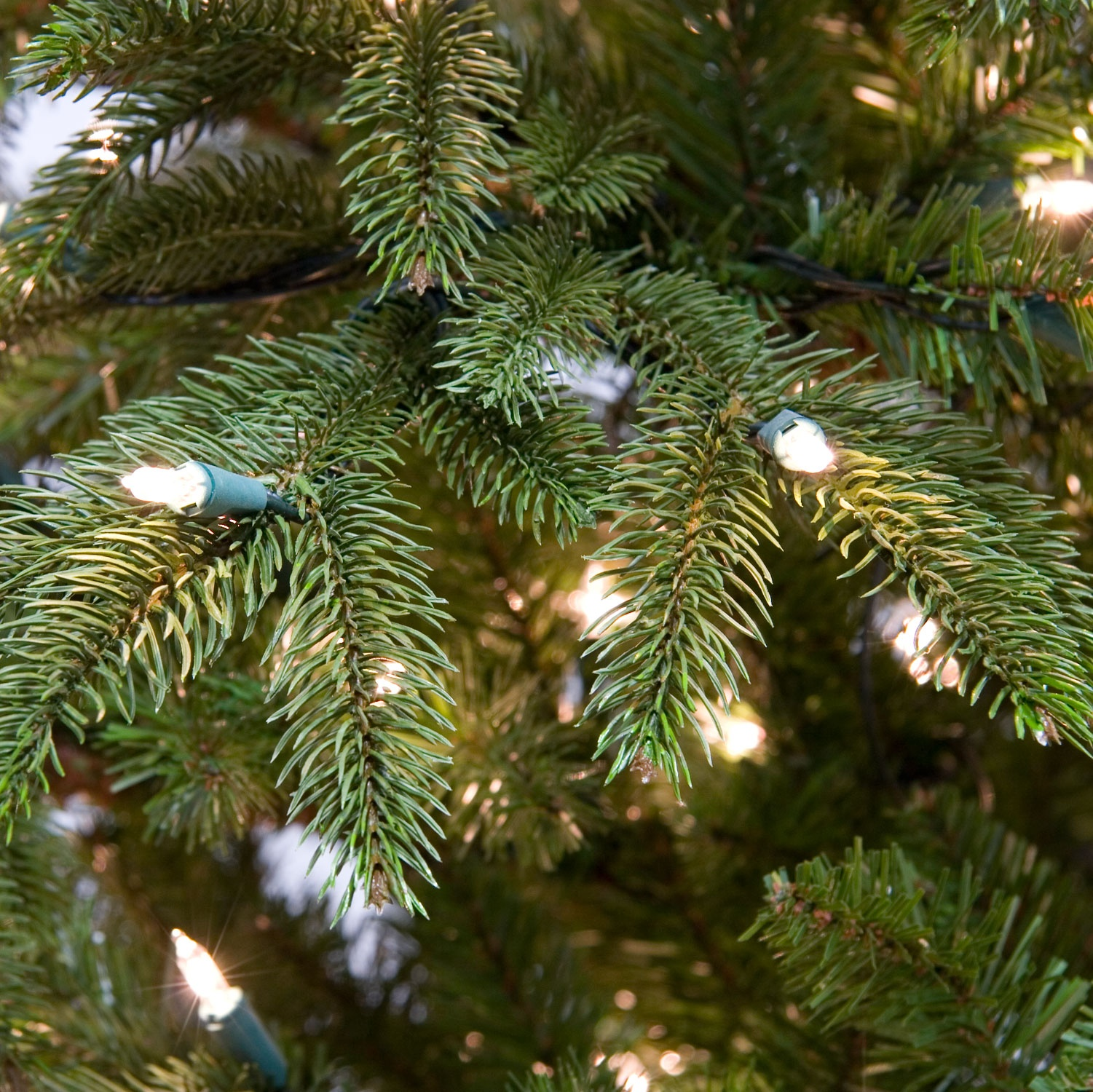 Fraser Fir Tree Inner Tips